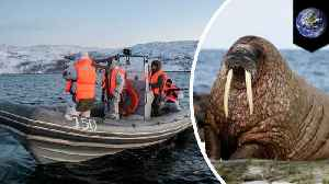 Walrus sinks Russian Navy inflatable boat in Arctic [Video]