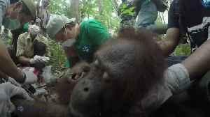 Sick orangutan rescued from wild fires [Video]