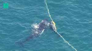 Baby Whale Rescued Off Australian Coast With Mother By Its Side [Video]