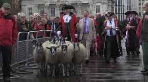 Michael Portillo drives flock of sheep across London Bridge [Video]