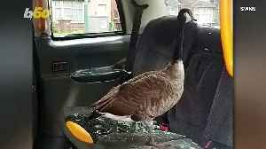 Goose On The Loose! Goose Smashes Into Backseat Of Taxi, Leaving Police Dumbfounded! [Video]