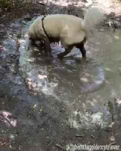 Dog Rolls in Puddle of Mud [Video]