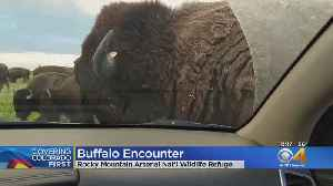 Buffalo Uses Car To Scratch An Itch At Rocky Mountain Arsenal Wildlife Refuge [Video]