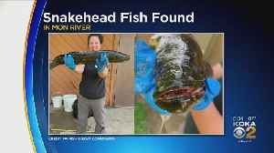 First Invasive Northern Snakehead Fish Caught In The Monongahela River [Video]