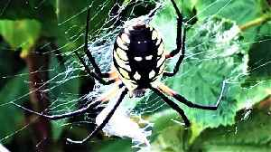 Husband discovers gigantic spider in wife's raspberry patch [Video]