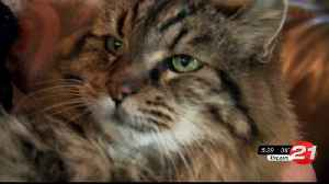 World's oldest cat missing at 27 [Video]