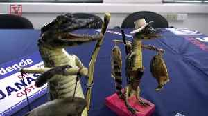 Chilean Authorities Seize Ornaments Made Out Of Baby Caiman Bodies [Video]