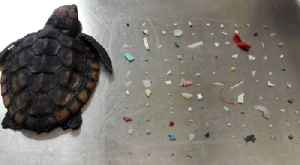 News video: Baby turtle dies after eating 104 pieces of plastic off South Florida coast, nature center says