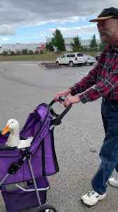 Man Takes Pet Duck Shopping in Stroller [Video]