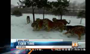 Trending topics & viral video-tiger time [Video]