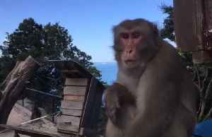 Monkey predicts winners of upcoming Rugby World Cup matches in Southern Japan [Video]