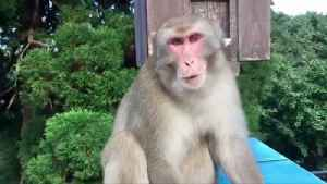 Monkey Predicts A Winner! A Monkey Is Forecasting Winners of Upcoming Rugby World Cup Matches! [Video]