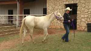 Hardin-Simmons welcomes rescue to its world famous Six White [Video]