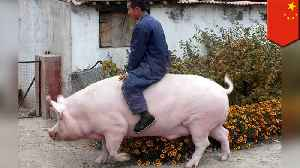 China is breeding giant pigs the size of polar bears [Video]