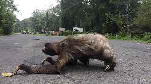 Up-Close Footage Of Sloth Crossing The Road [Video]