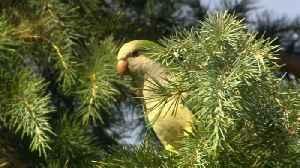 Madrid to curb exploding parakeet population using 'humane' method [Video]