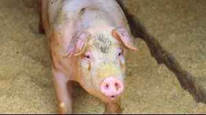 Fears African swine fever in North Korea could spread to South [Video]