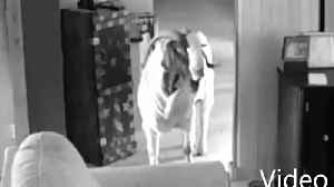 Goat not kidding around by breaking into Ohio home [Video]