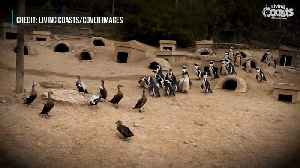 Penguin And Duck Rugby Match [Video]