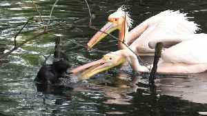 Angry pelicans chase away intrusive rodent [Video]