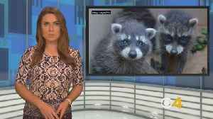Massachusetts Man Who Helped With Baby Raccoons May Need Rabies Treatment [Video]