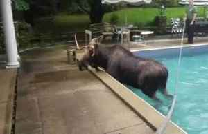 Moose rescued from swimming pool in U.S. [Video]