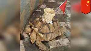 Chinese zoo glues basket to tortoise shell for kicks [Video]