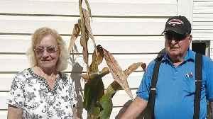 Backyard Cornstalk Breaks World Record [Video]