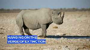 Black rhinos in Botswana could go extinct by 2021 [Video]