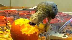 Parrot can't contain happiness after discovering pumpkin seeds [Video]