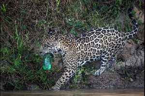 Photographer Captures Wild Jaguar Playing With Discarded Plastic Bottle [Video]