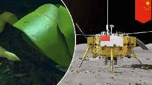 China grows cotton plant on the moon in biological first [Video]