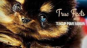 True facts about the Teacup Pomeranian [Video]