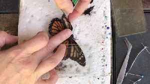 Zoo volunteer gives a deformed butterfly a wing transplant to help it fly again [Video]