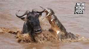 Wildebeest bests crocodile in epic nature showdown [Video]