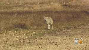 Corn-Fed Prairie Dogs Attracting Coyotes & Pet Attacks In Erie [Video]