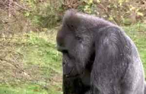 Scientists find how deadly malaria parasite jumped from gorillas to humans [Video]