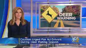 Warning To Drivers: Deer Mating Season Now At Its Peak [Video]