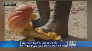 You Can Get A Sneak Peek At The Elephant Pumpkin Smash For The Maryland Zoo's ZooBOOO! [Video]