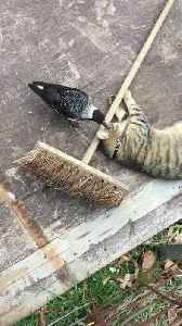Cat and Bird Cuddle by a Broom [Video]