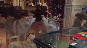 Siberian Huskies and Their French Bulldog Friend Howl Together [Video]