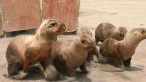 Watch the Moment Six Baby Sea Lions Are Released Back Into the Wild After Being Rescued [Video]