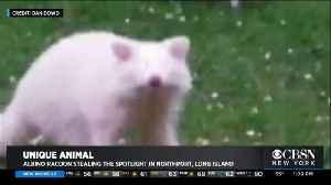 Mysterious Albino Raccoon Steals Spotlight [Video]