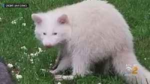 Rare Albino Raccoon Spotted On Long Island [Video]