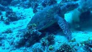 Hawksbill sea turtle in the Red Sea 5 [Video]