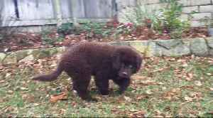 Newfoundland puppy chases leaves on a windy day [Video]