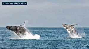 Whale Breachings Off Monterey Coast Possibly Linked to Hollister Temblor [Video]