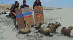 Six sea lions returned to ocean in Peru [Video]