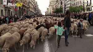 Sheep Seen Taking Over Streets Of Madrid In Annual Herding Festival! [Video]