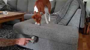 Dog Gets Confused And Scratches Couch To Find Toy Stuck Between Cushions [Video]